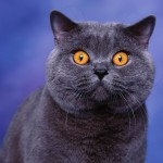 British Shorthair robuste